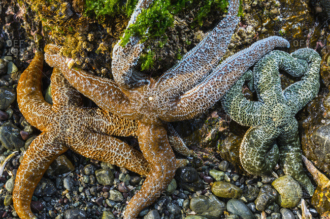 Detail view of sea stars in a tide pool on Hesketh Island, Homer, Alaska, United States of America