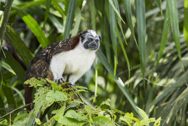 A Tamarin Monkey (Saguinus) on an island in the Gatun Lake part of the Panama Canal, Panama