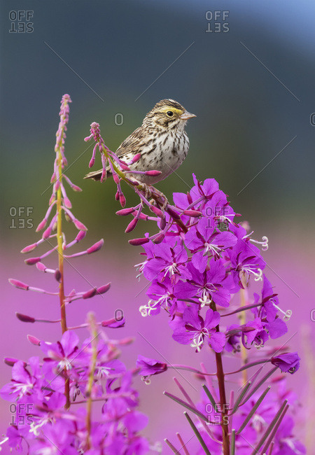 A sparrow perches on the top of Fireweed (Chamerion angustifolium), Mendenhall Wetlands, Juneau, Alaska, United States of America