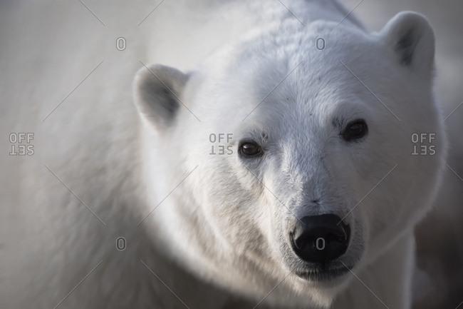 Young polar bear (ursus maritimus) staring into camera lens during sunrise, Churchill, Manitoba, Canada