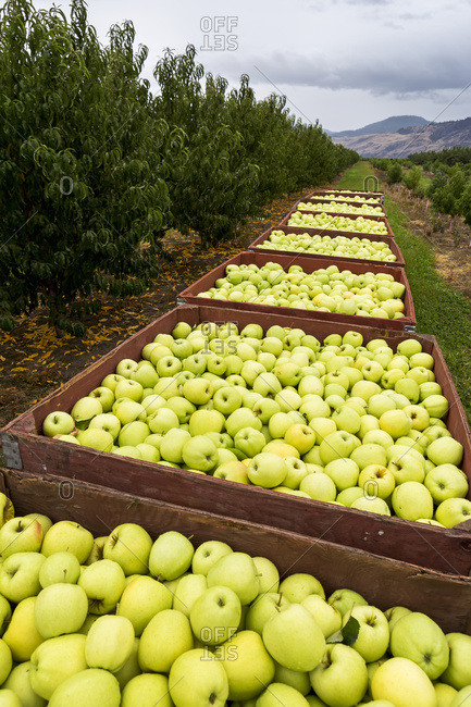 A row of large wooden bins full of green apples in an orchard, Penticton, British Columbia, Canada