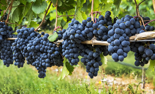 A row of clusters of dark purple grapes hanging on the vine, Penticton, British Columbia, Canada