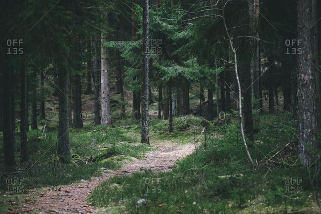 Path through lush pine forest