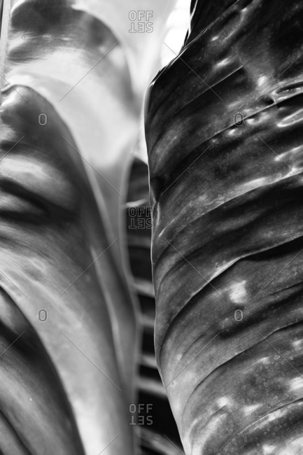 Curved sections of a shiny, rubbery plant