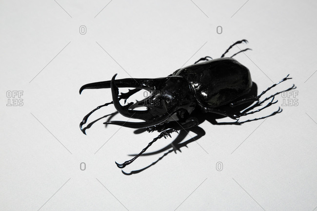 close up of an Atlas beetle on a white surface