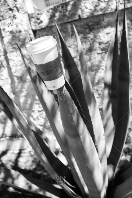 Paper coffee cup stuck through the blade of a cactus