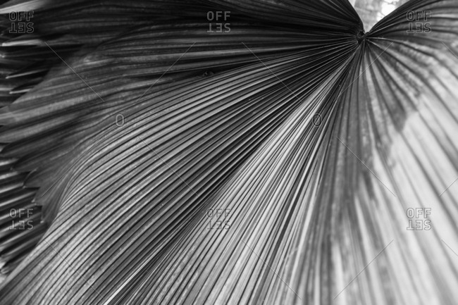 Ridges of a broad leaf meeting at a center point