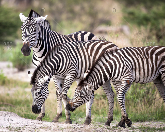 Interacting group of zebras