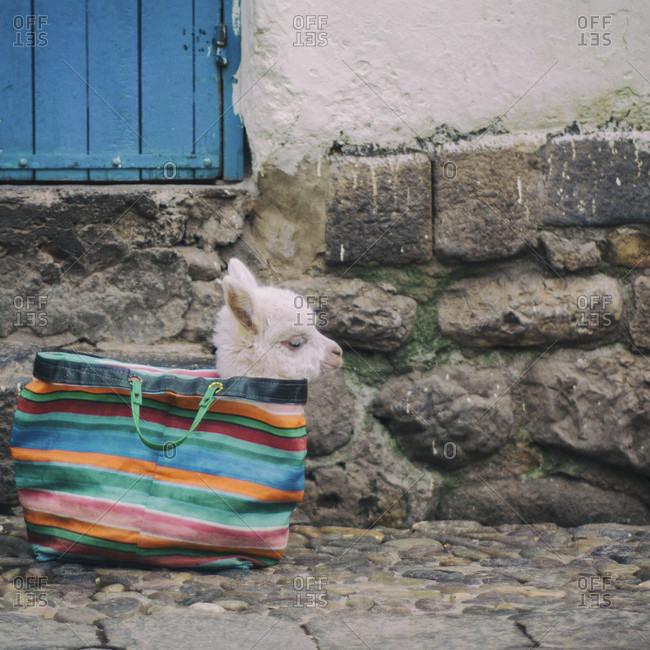 Baby Llama In A Handbag