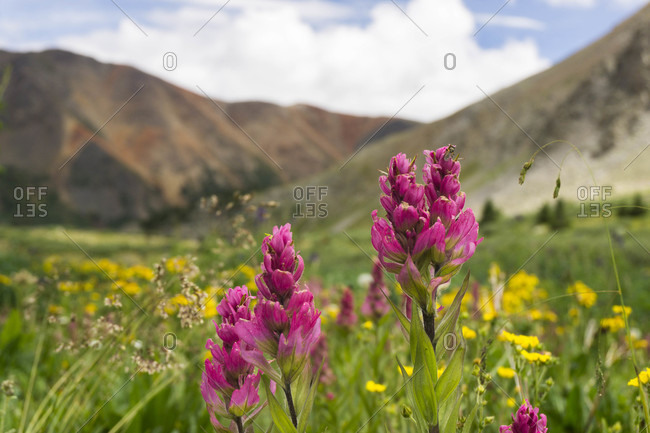 Colorado wildflowers in the backcountry during the summer