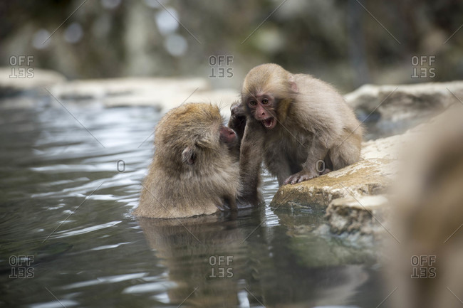Snow monkeys at the snow monkey park in Nagano Japan