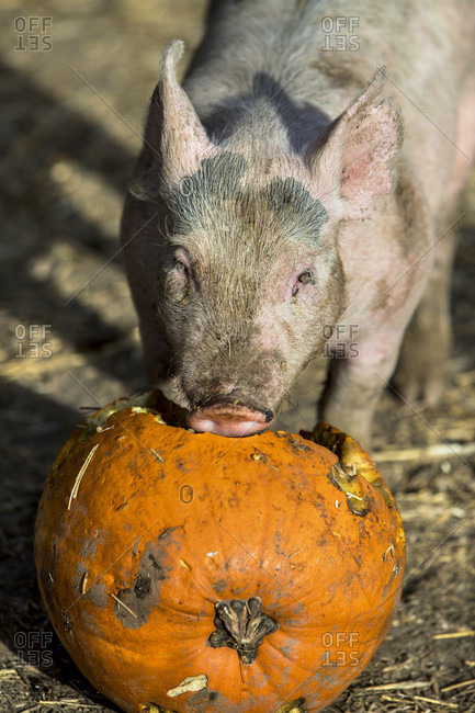 Small dirty piglet eating pumpkin