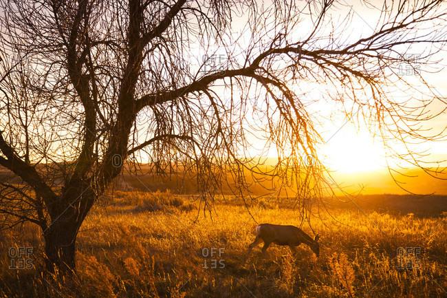 A deer grazes under a tree during Sunset. Theodore Roosevelt National Park, North Dakota, USA.