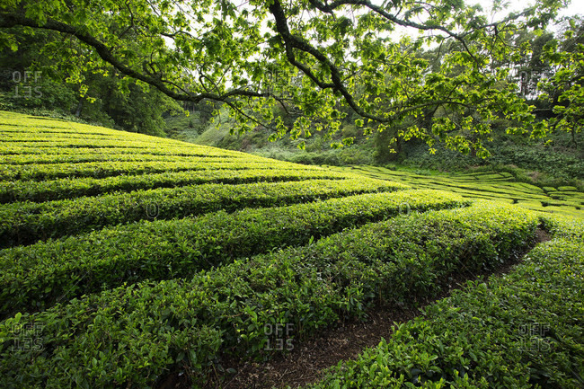 Rows of growing tea in Azores tea plantation