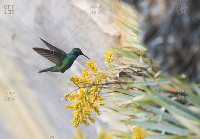 Hummingbird Feeding On Flower, Bolivar State, Venezuela