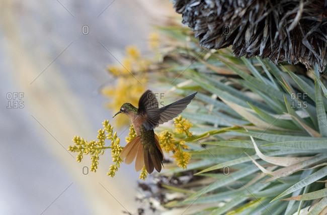 Close-up Of A Hummingbird, Bolivar State, Venezuela