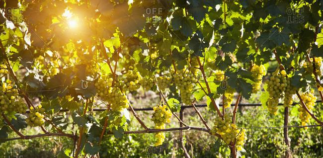 Sunbeams on vineyard
