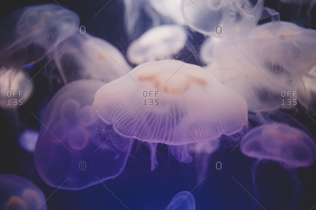A sea of moon jelly fish