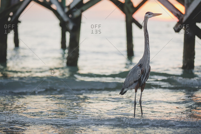 Great blue heron walking in the waves near a pier at sunset
