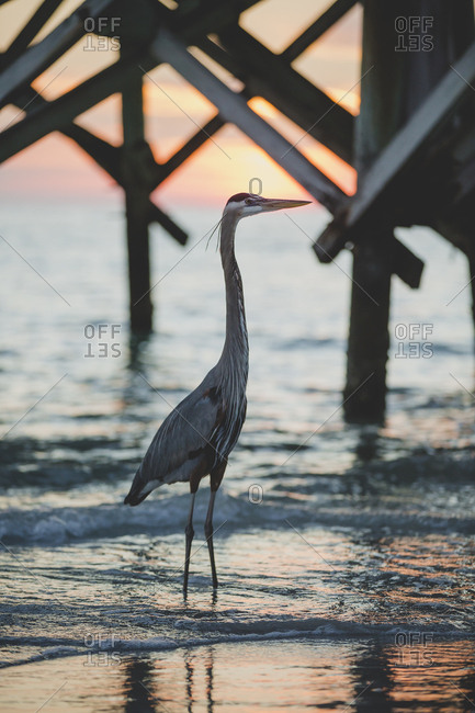 Great blue heron in water near a pier at sunset