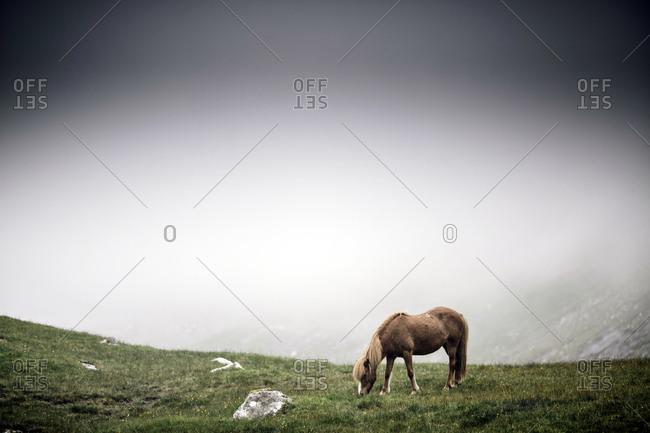 Faroe Islands - July 25, 2014. A Faroe pony on a grass field in the Faroe Islands.