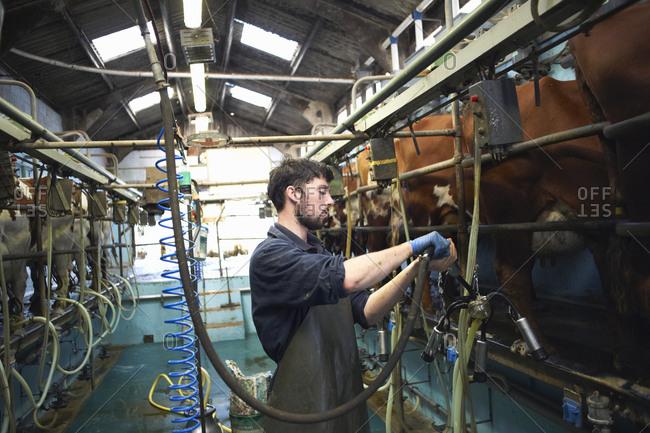 Farmer milking cows in dairy farm, using milking machines