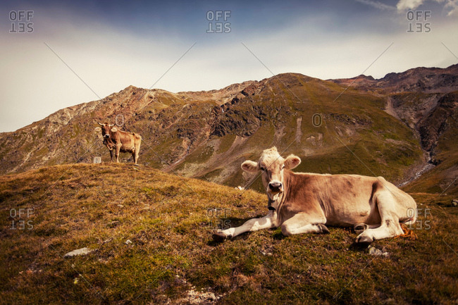 Cow lying down on top of mountain