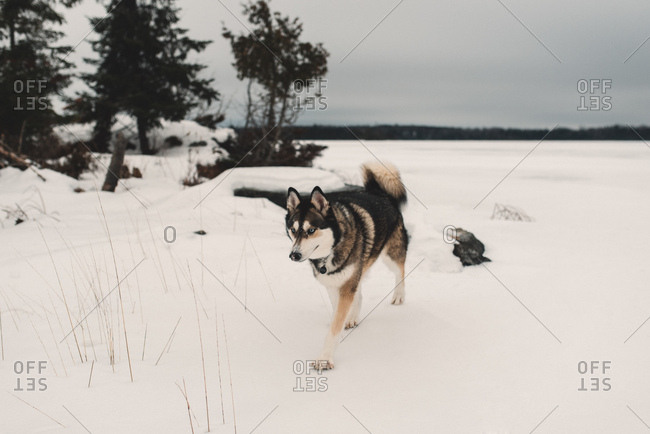 Husky dog walking in snow covered landscape