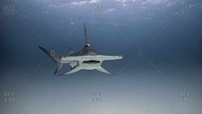 Underwater view of hammerhead shark