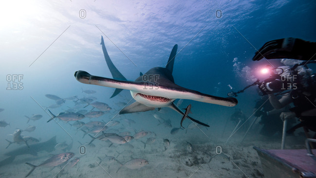 Underwater view male underwater photographer, photographing of hammerhead shark