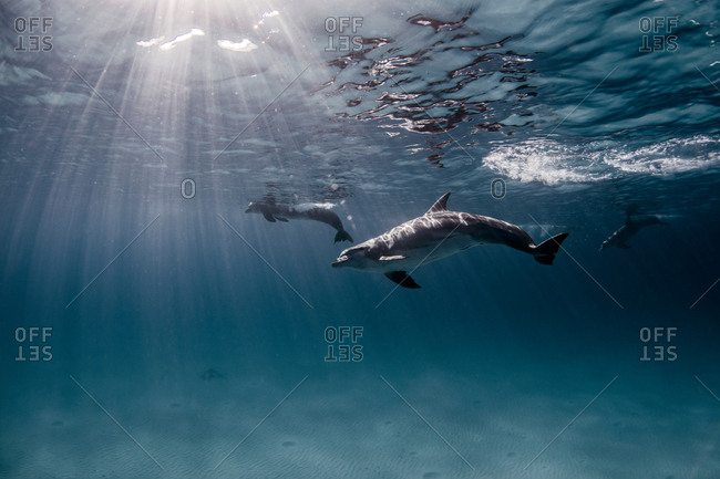 Underwater view of dolphins swimming near surface