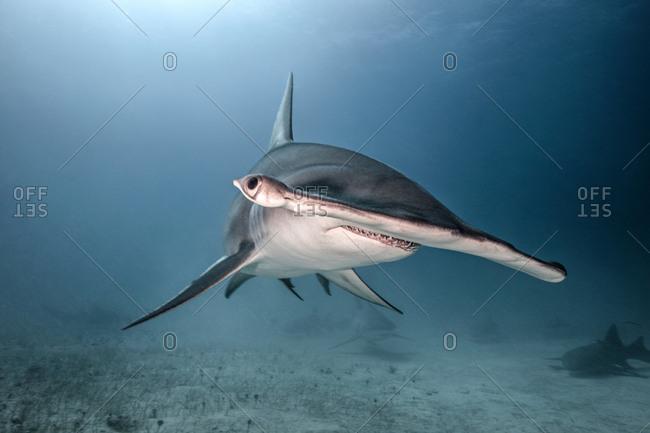 Underwater portrait of hammerhead shark