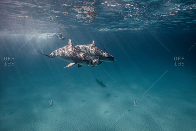 Underwater view of scuba diver following dolphins
