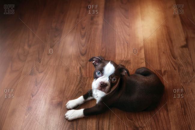 Portrait of Boston terrier puppy lying on wooden floor
