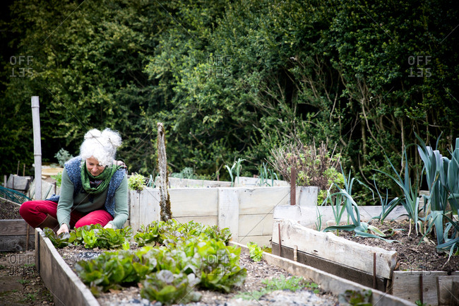 Mature female gardener tending lettuce in raised bed