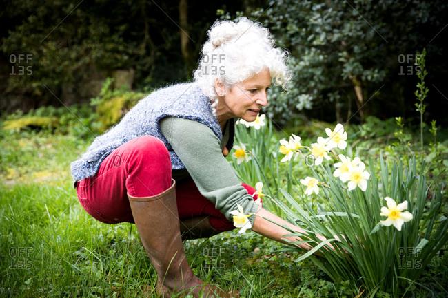 Mature female gardener tending daffodils