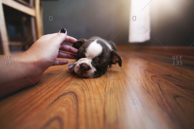 Woman's hand reaching out to pet sleeping Boston Terrier puppy