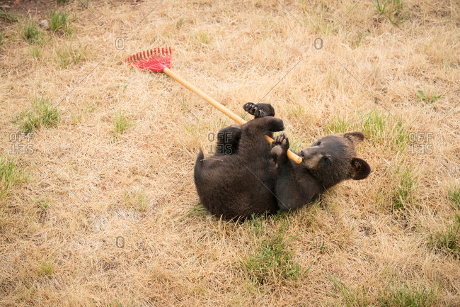 Bear cub lying on back playing with rake, South Dakota, USA