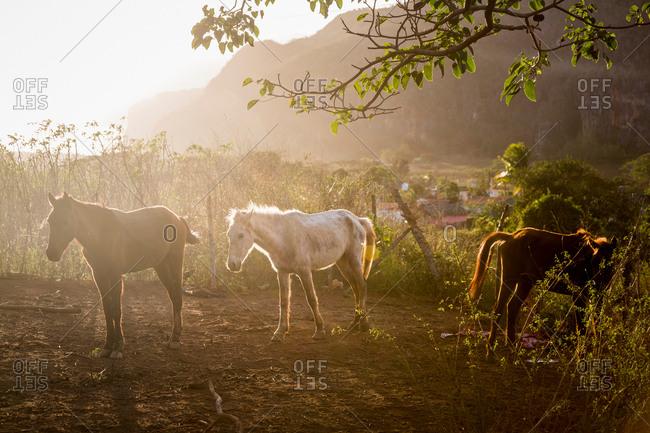Horses in sunlit paddock, Vinales, Cuba