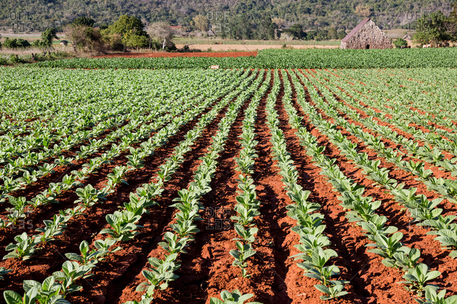 Rows of green colored crop in agricultural landscape, Vinales, Cuba