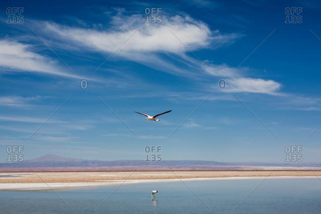 Bird flying over lake, San Pedro de Atacama, Chile