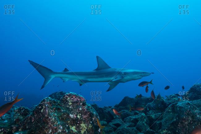 Rare sighting of a sick Blacktip Shark (Carcharhinus limbatus), San Benedicto, Colima, Mexico
