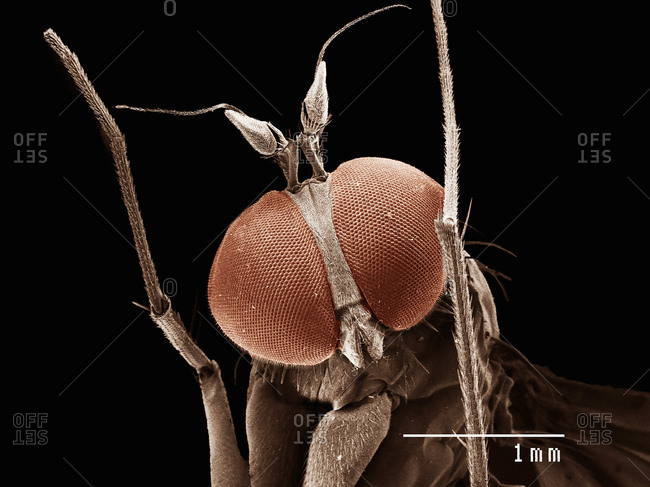 Head of long legged fly (dolichopodiae) imaged in a scanning electron microscope