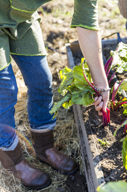 Woman's hands pulling beetroot from allotment