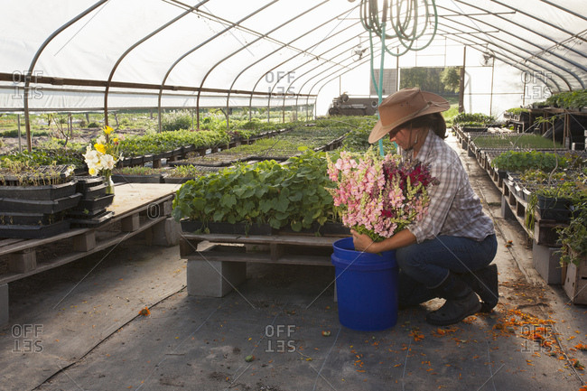 Young woman placing bunch of snapdragons (antirrhinum) in bucket, flower farm polytunnel
