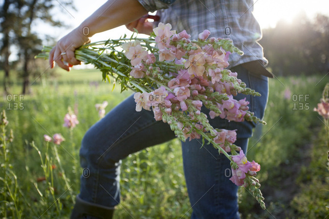 Mid section of woman selecting snapdragons (antirrhinum) from flower farm field