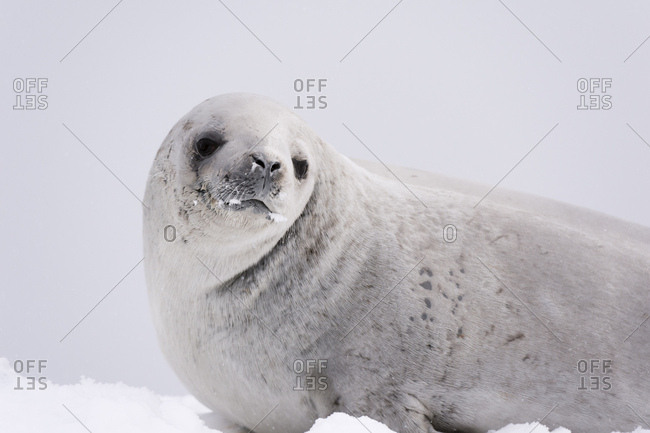 Crabeater seal (Lobodon carcinophaga) on the ice, Wilhelmina Bay, Antarctica