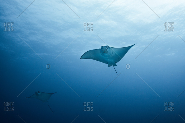 Pair of eagle rays (aetobatus narinari) swimming, underwater view,  Cancun, Mexico