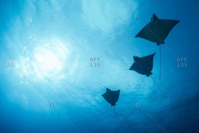 Eagle rays (aetobatus narinari) swimming, underwater view,  Cancun, Mexico