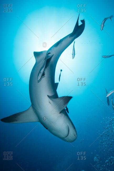 Bull shark (Carcharhinus leucas), surrounded by small fish, underwater view, Playa del Carmen, Quintana Roo, Mexico